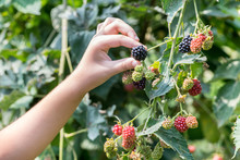 Hand Of A Young Child Picking Blackberries