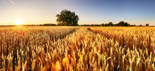 Wheat Flied Panorama With Tree...