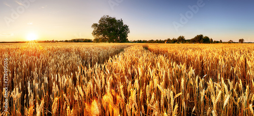 Aluminium Prints Culture Wheat flied panorama with tree at sunset, rural countryside - Agriculture