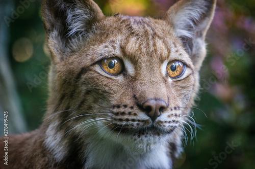 Obraz na płótnie lynx