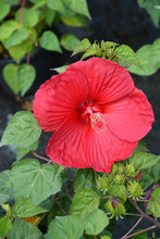Hardy Hibiscus Luna Red