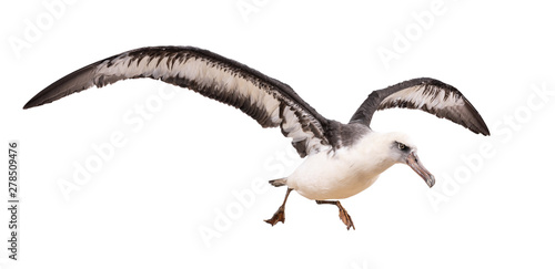 Fotografie, Obraz  albatross bird isolated on white background. with clipping path