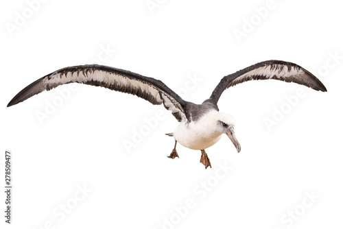 Fotografía  albatross bird isolated on white background. with clipping path