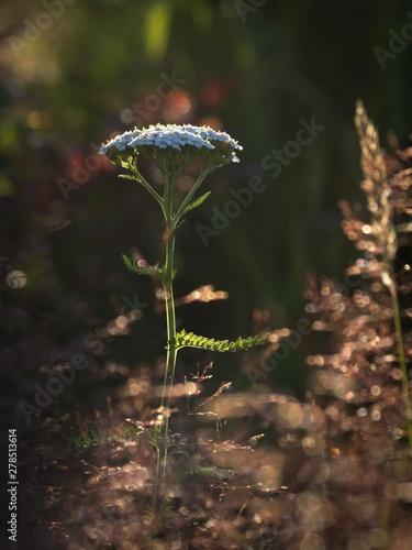 Photo Common Yarrow - Achillea millefolium