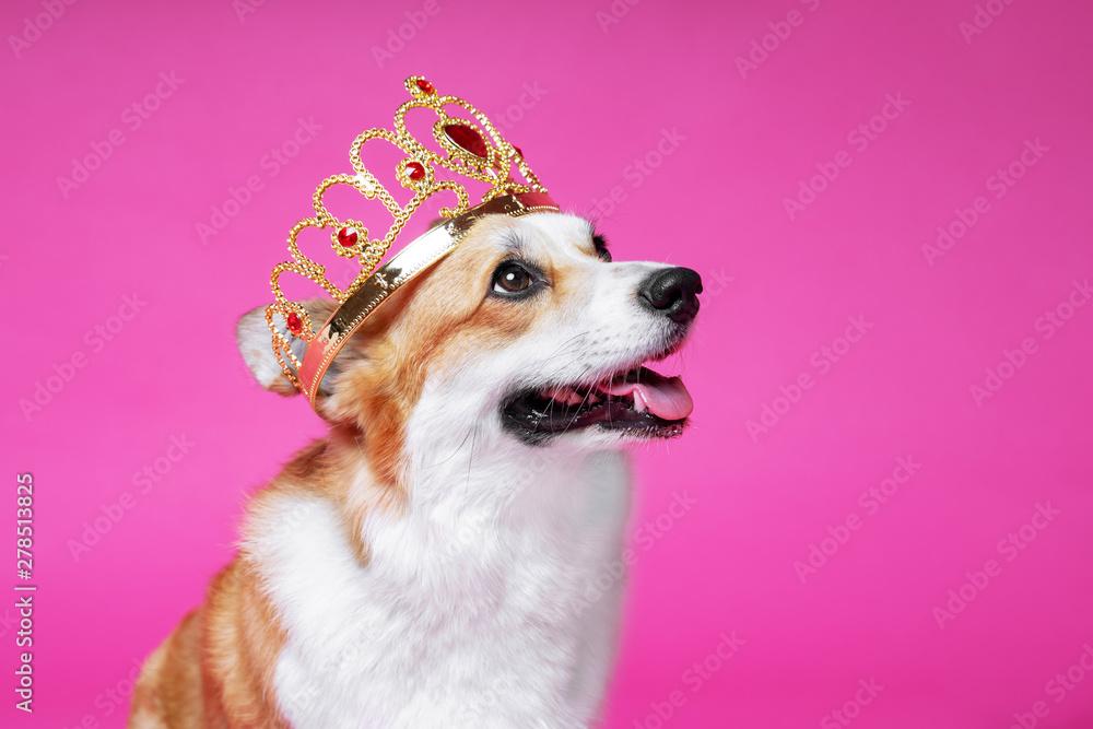Fototapety, obrazy: Funny dog pembroke welsh corgi in the crown, like a king, a prince on a pink studio background