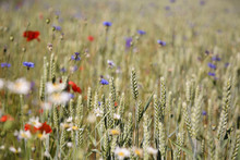 Golden Wheat And Wild Flowers In A Farm Field, Gotland Sweden.