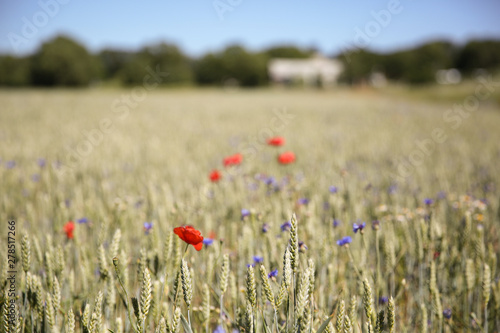 Cuadros en Lienzo Golden wheat and wild flowers in a farm field, Gotland Sweden.