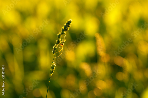 Cuadros en Lienzo  Silhouette of spider-tetragnatha on a green stem of orchard grass on the backgro