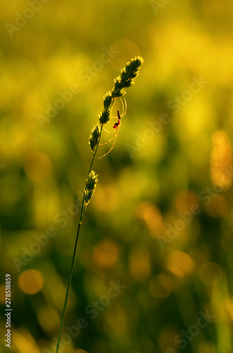 Fotografía  Silhouette of spider-tetragnatha on a green stem of orchard grass on the backgro