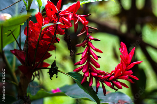 Vászonkép Tropical flowers of Rarotonga