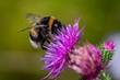 Leinwandbild Motiv bee on flower