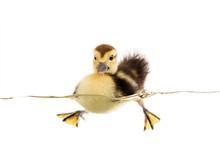 Little Duckling Floats On Water