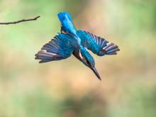 Common European Kingfisher Dive