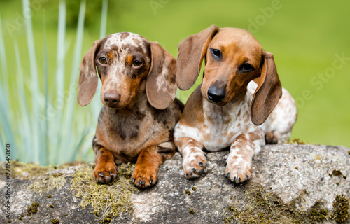 Fotografie, Tablou dachshund marble фтв piebald , runs along the green grass
