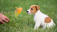 Cute Pet Dog Puppy Sitting In The Grass And Smelling A Flower