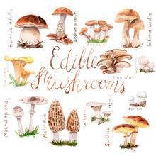 Watercolor Drawings Of Forest Mushrooms - A Set Of Edible Mushrooms