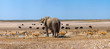 canvas print picture - Elephant and many ostrichs and gazelles at a waterhole in Etosha, Namibia