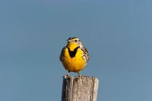 Western Meadowlark Sitting On ...