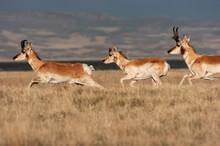 Pronghorn Antelope (Antilocapr...