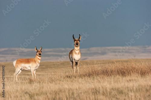 Pronghorn antelope (Antilocapra americana) in Laramie Valley;  Wyoming Canvas Print