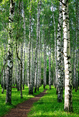 Fototapeta Brzoza Evening pathway in the summer birch forest