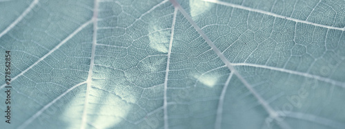 Grape leaf, gray toned, macro. Close up texture with copy space for design.