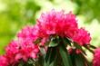 Leinwanddruck Bild - Rote Rhododendronblüte, Close-Up, Deutschland