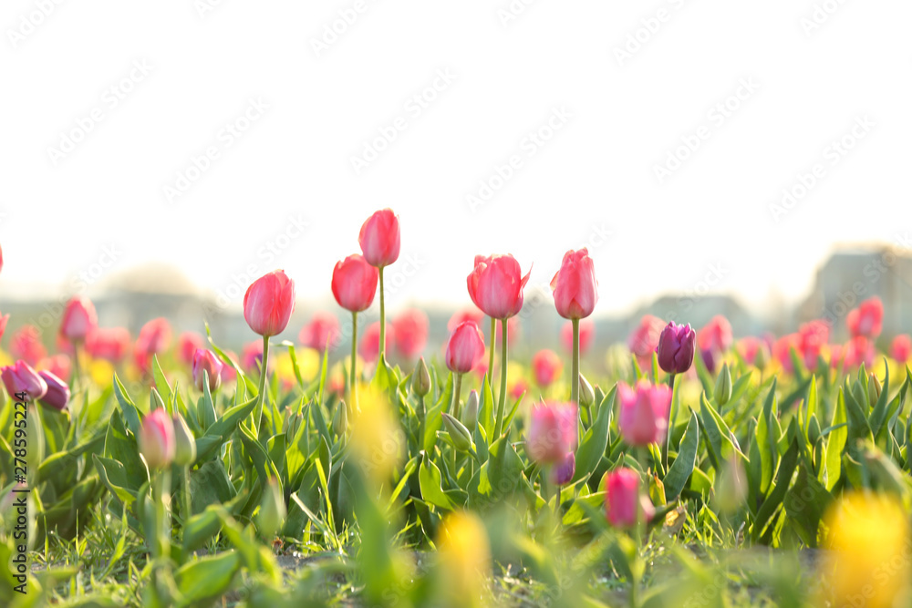 Fototapety, obrazy: Field with fresh beautiful tulips. Blooming flowers