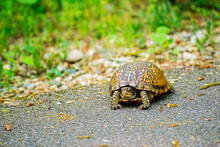 Box Turtle On The Bicycle Path