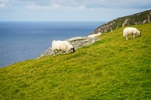 Sheep On A Hillside By The Sea