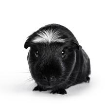 Portrait Of Black White Creste...