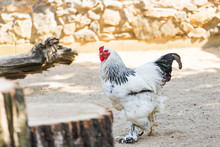 Bushy Rooster Brahma Walks Thr...