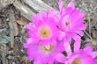 canvas print picture - pink cactus flower