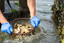 An Oyster Farmer Shaking Out A Basket Of Oysters In The Water.