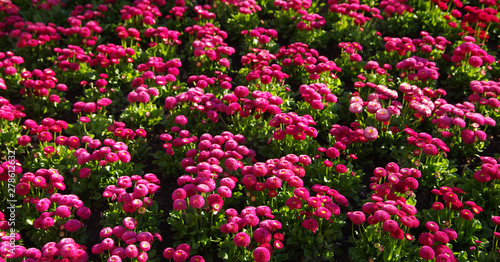 Violets tulips banner. Glade of violets flowers with open buds. Exhibition of flowers in the spring. Romantic background. Pink glade of violet in summer meadow for a romantic design.