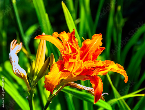 Hemerocallis fulva known as orange day-lily, tawny, tiger, railroad, roadside or fulvous daylily, also ditch, outhouse or wash-house lily