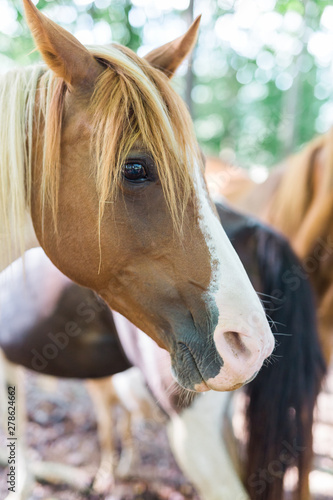 American Paint Pony Quarter Horse and Saddle Bred