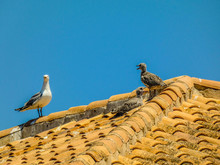 Two Seagull Babies And Adult Seagull On The Roof