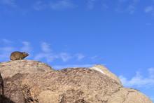 Dassie Rock Hyrax Against The Sky