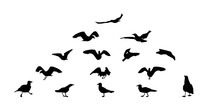 Set Of Different Gull Silhouettes. Flying, Eating, Going, Taking Off.