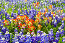 Texas Indian Paintbrush (Casti...