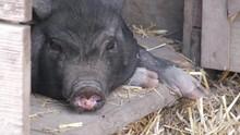 Cochon Noir Qui Bâille (4K)
