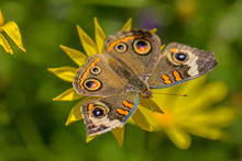 Common Buckeye Butterfly On Ye...