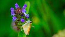 British Butterfly, Hairstreak,...
