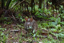 A Wild Rabbit Peeks Out At Visitors In A Hidden Cemetery On A Southern Plantation.