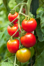 Fresh, Ripe, Organic, Red Cherry Tomatoes Growing On Vine In Vegetable Garden