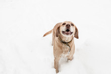 Domestic Dog Looking Like The Labrador Walking In The Snow Looking Happy.
