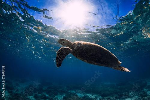 Poster Tortue Turtle glides in blue ocean. Green sea turtle underwater