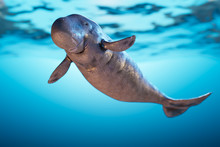3d Rendering Illustration Of Young Dugong, The Sea Cow Floating Underwater Sea.