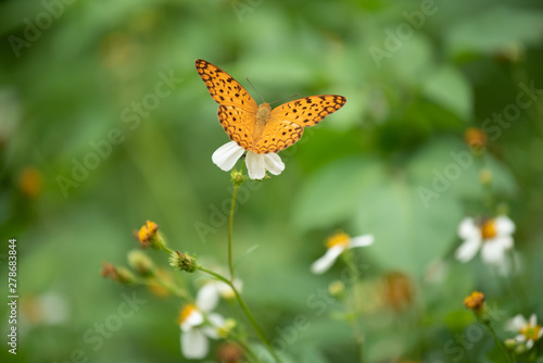 Photo Closeup butterfly on flower (Common tiger butterfly)...